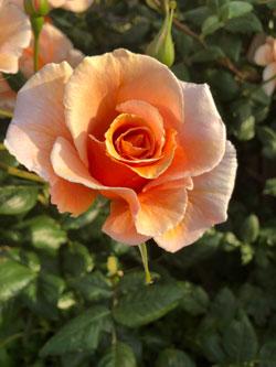 ベランダガーデン オレンジのバラ