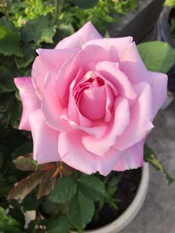 ベランダガーデン ピンクのバラ