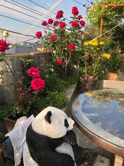 ベランダガーデンのバラ
