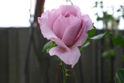バラの花と棘